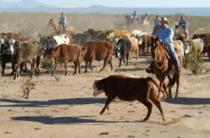 Cattle Drives - Authentic cowboy horse wrangler cattle drive near Tucson arizona